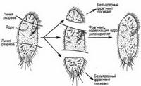 Регенерация одноклеточного простейшего